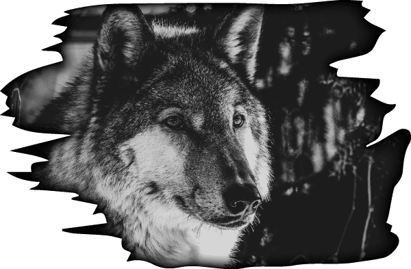 Wolfpack Racing Wolf 3