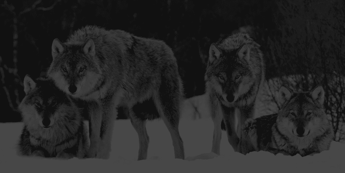 Wolfpack Pack of Wolves