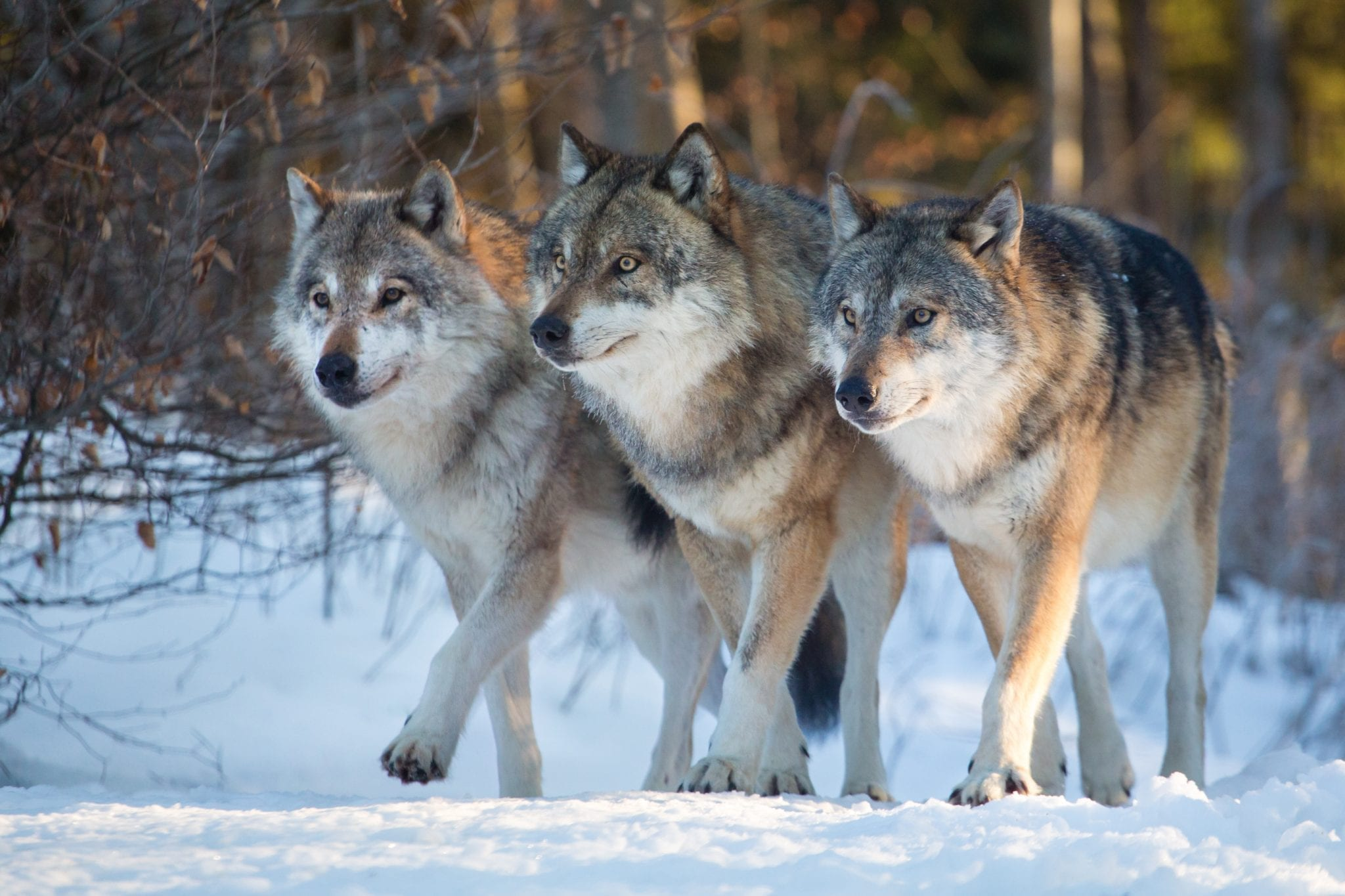 Pack of Three Wolves